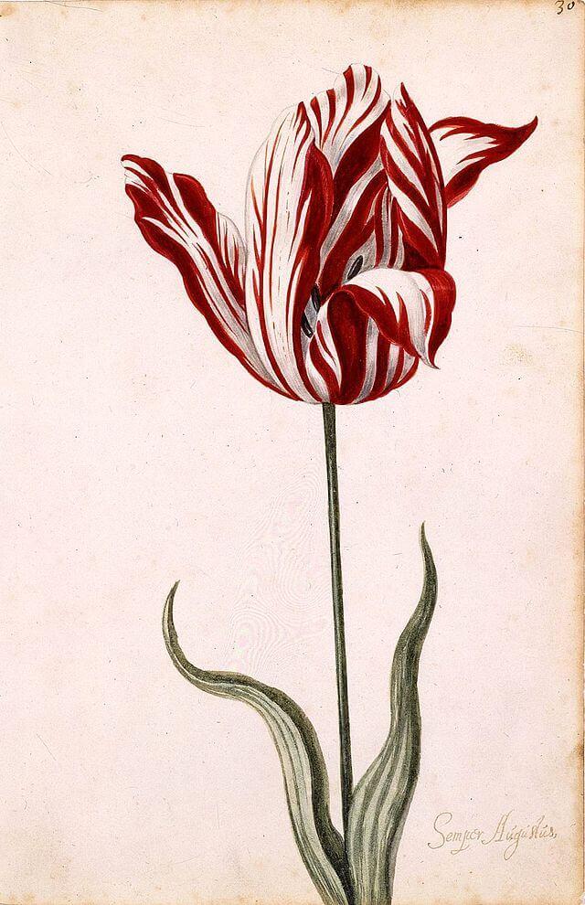 Tulip Breaking virus